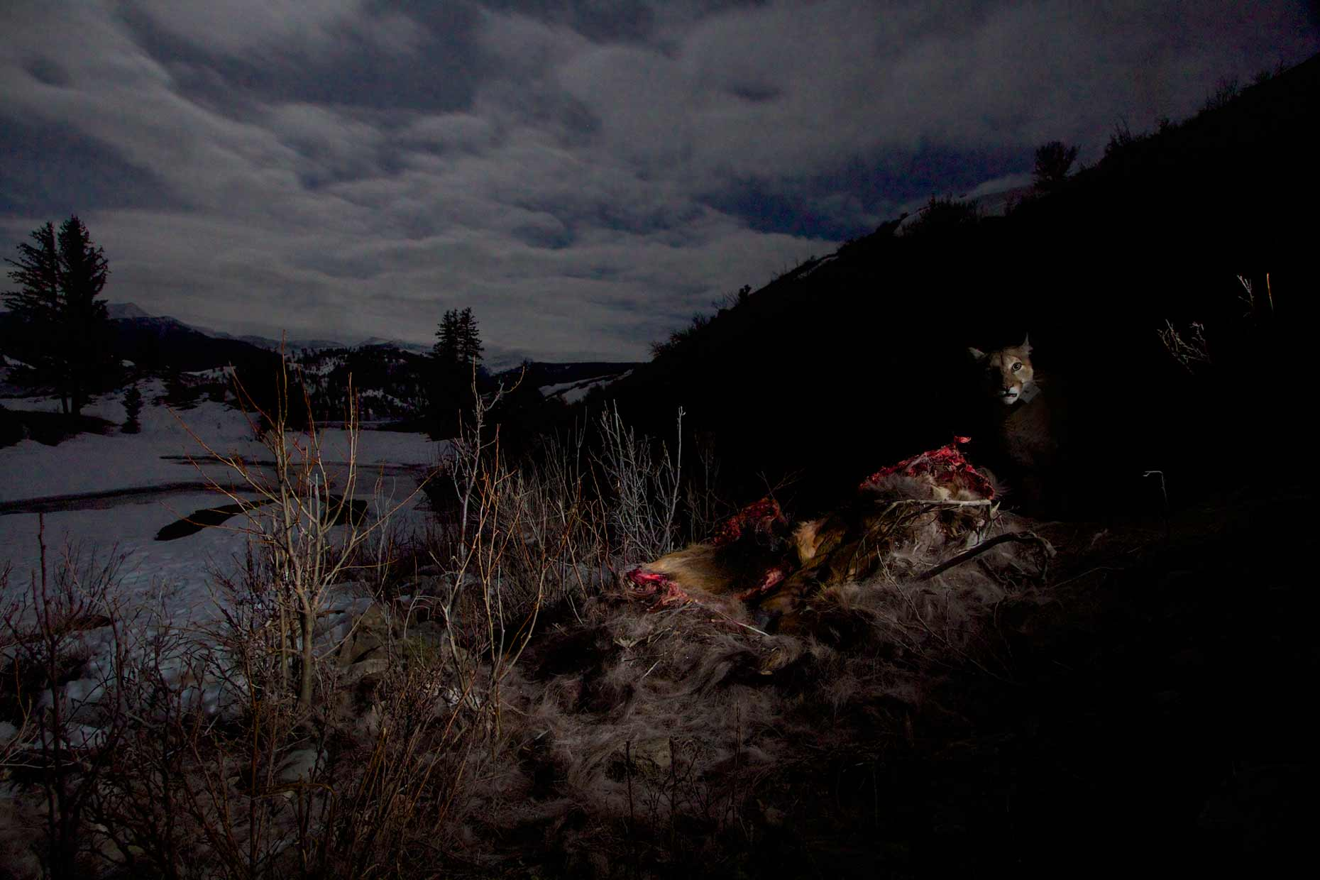 Cougar on an elk kill in the moonlight, Teton National Forest