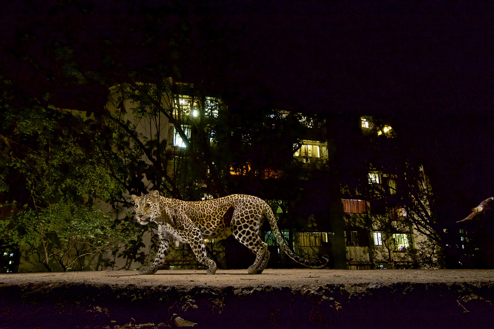 MM8196 Leopards - Sanjay Gandhi National Park, Mumbai, Maharashtra, India Leopard walking on border trail of SGNP with colony apt. building in the background.