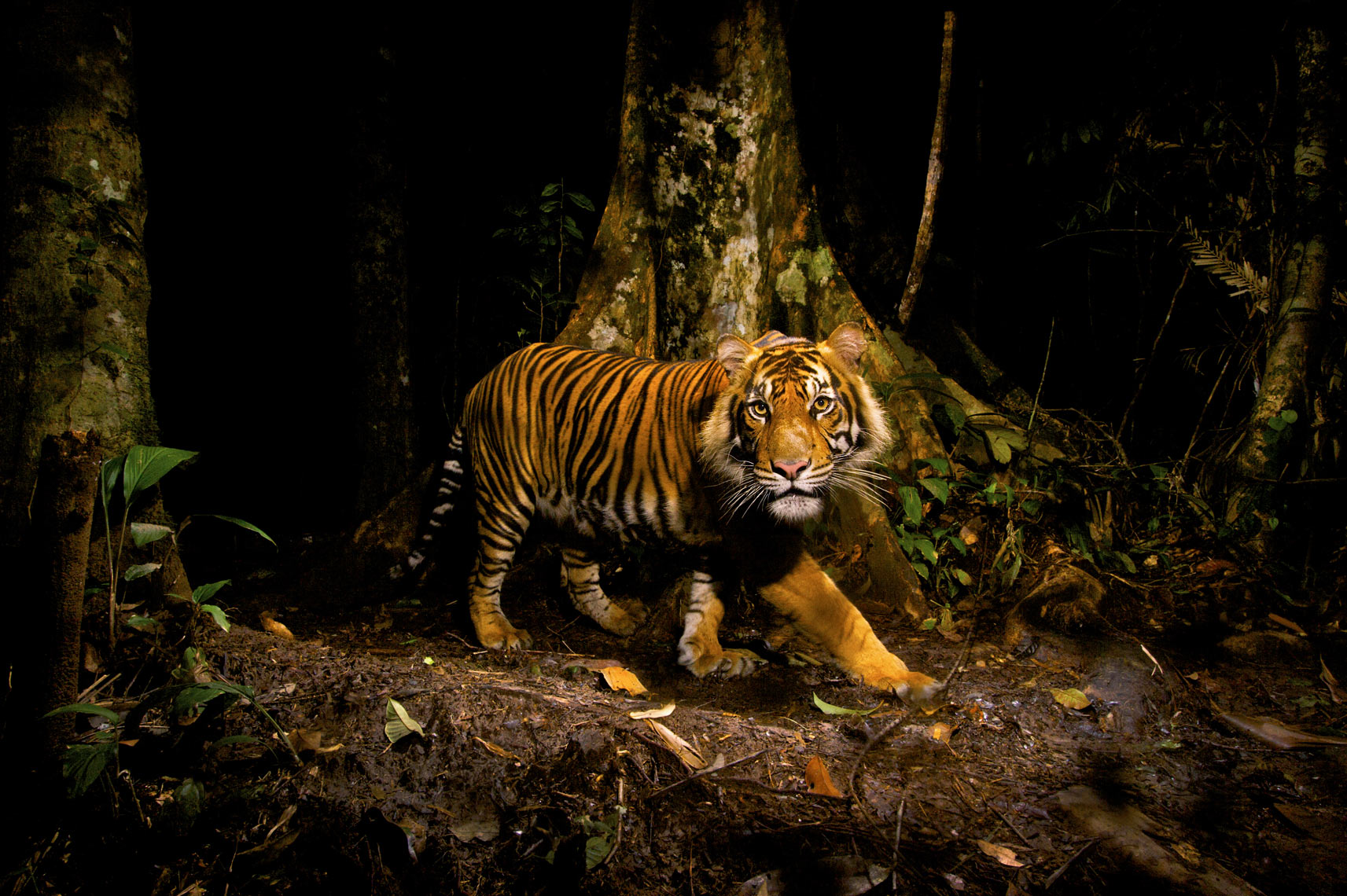 Sumatran Tiger, Steve Winter Photography, tiger, wildlife